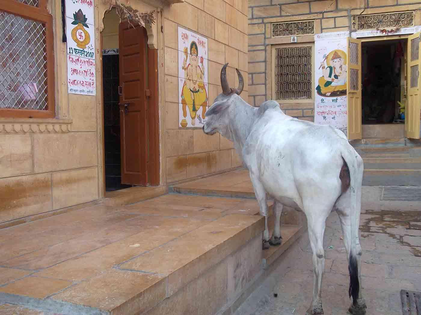 Vaca queriendo entrar en casa Jaisalmer