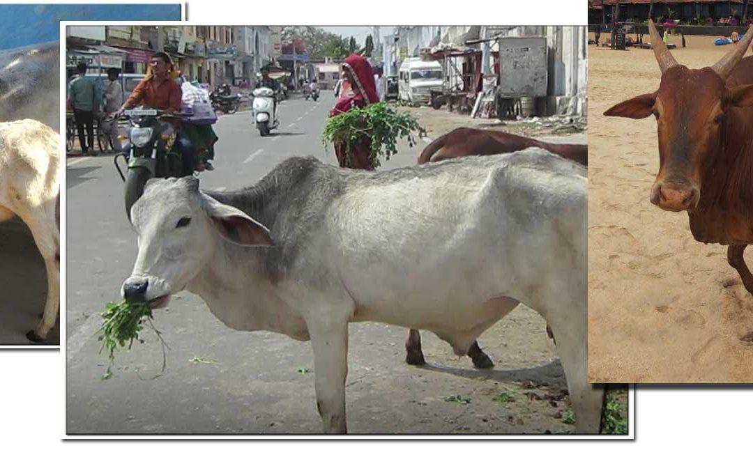 Las vacas en la India, sagradas para hindúes, carne para musulmanes
