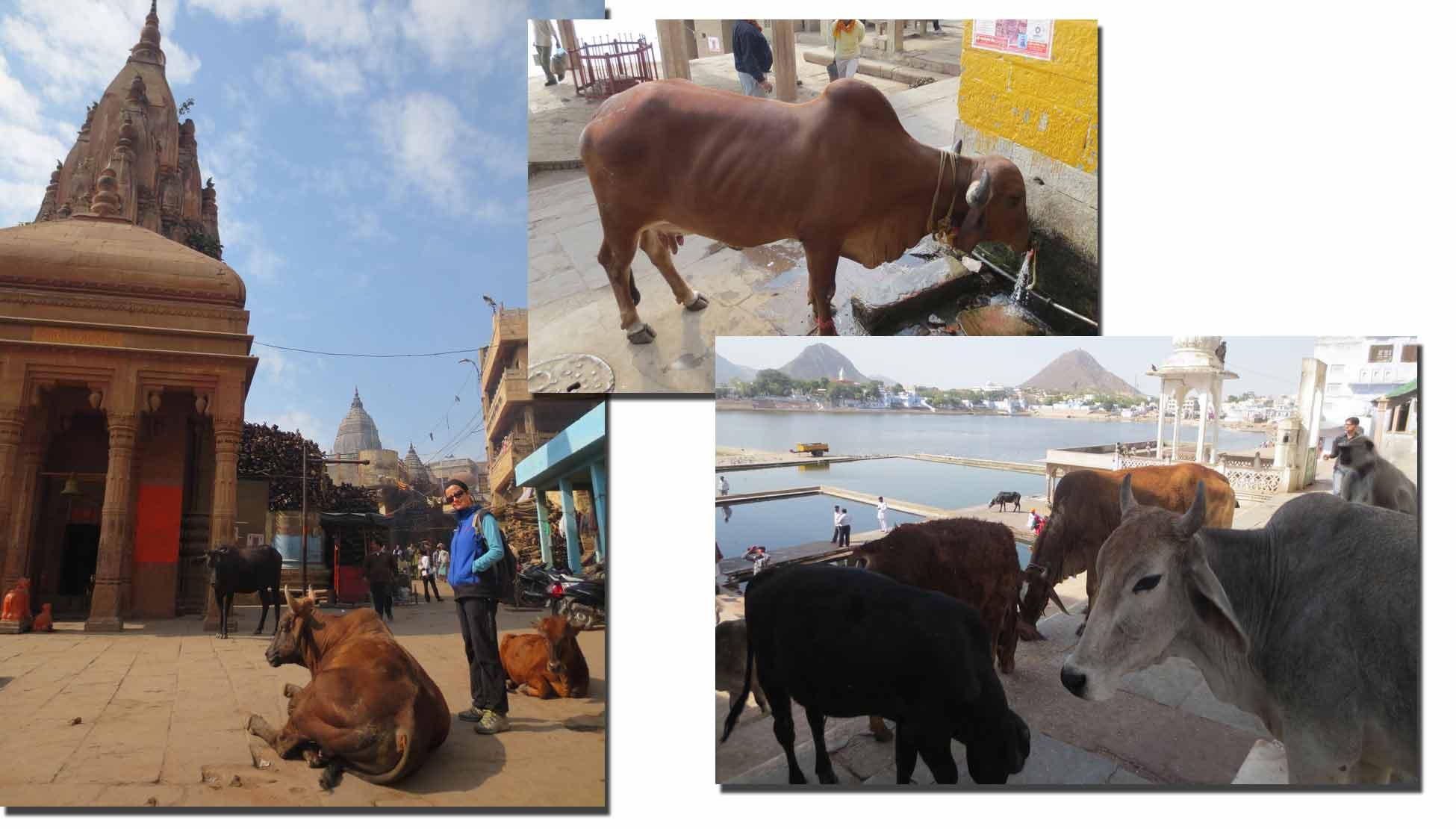 Vacas en calles de India